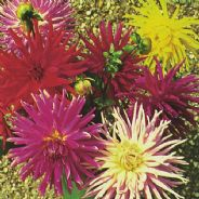 Dahlia Cactus Flowered Mix - 40 seeds - 120 seeds